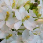 3月3日ひなまつり!『桃の花』あります!