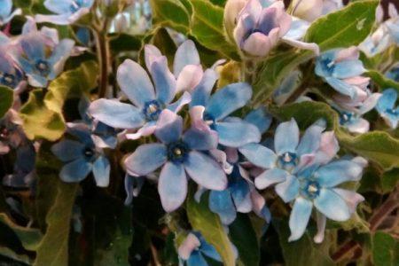 今週おすすめの花!『ブルースター』『クリスマスローズ』
