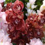 今週おススメの花!『シンビジウム』