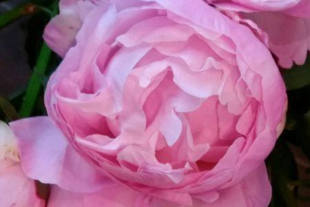 今週の花 『シャクヤク』