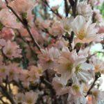 今週のハナモの店内 01/25 2019桜!!