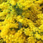 ミモザリース 幸せを呼ぶ花