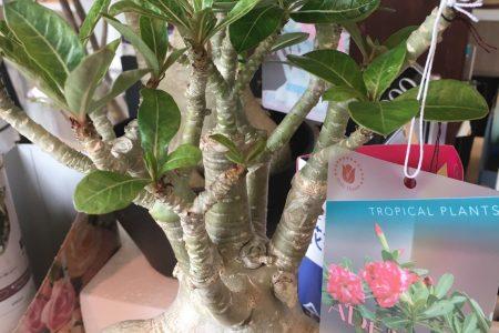 観葉植物たくさん入荷しました!ぜひハナモにご来店ください!