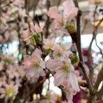 今週のハナモの店内 02/18 ❀桜❀